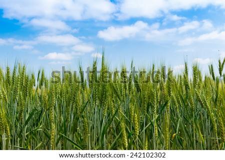 Organic green wheat in the field. - stock photo