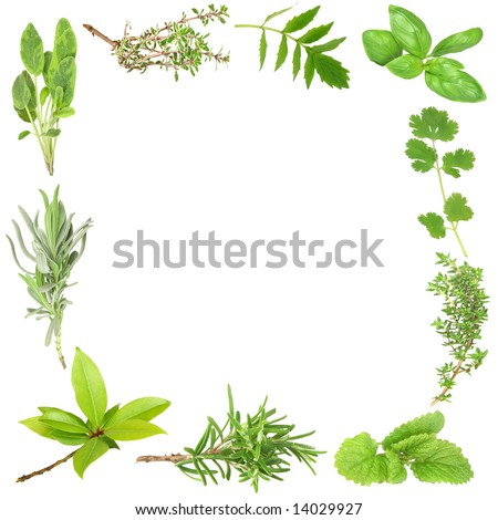 Organic herb border of bay leaves, lavender, sage, golden thyme, valerian, basil, coriander, common thyme, lemon balm, and rosemary. (Clockwise order) Set against a white background. - stock photo