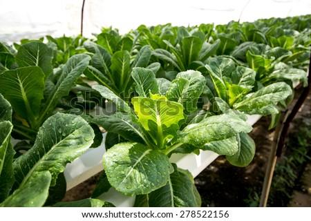 Organic hydroponic vegetable farm - stock photo
