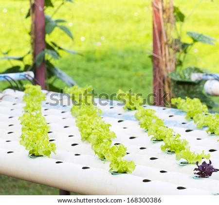 Organic hydroponic vegetable garden - stock photo