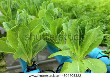 Organic hydroponic vegetable garden. - stock photo