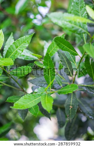 Organic laurel tree with bay leaves - stock photo