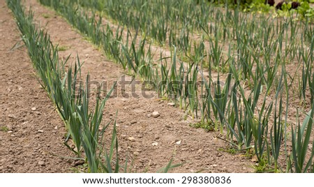 Organic Leeks in a row in the kitchen garden - stock photo