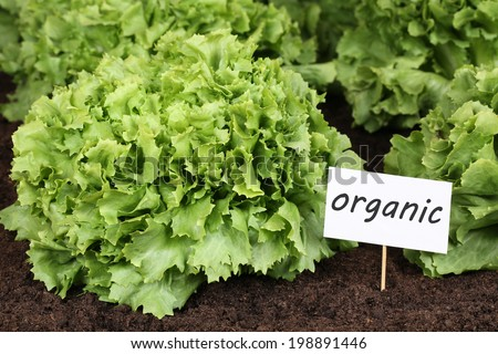 Organic lettuce in vegetable garden in nature - stock photo