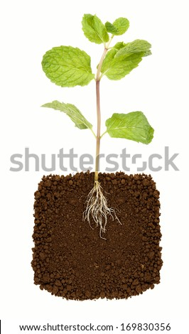 Organic Mint Herb Isolated - stock photo