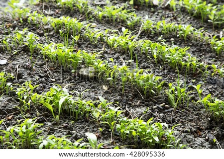 Organic parsley seedling rows growing in the garden - stock photo