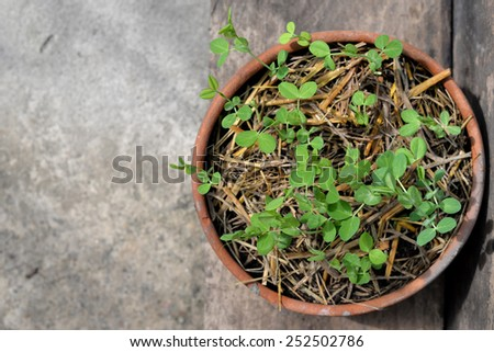 Organic pea sprouts in flower pot