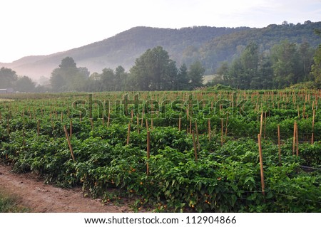 Organic pepper farm near Asheville, North Carolina growing the hottest peppers in the world. - stock photo