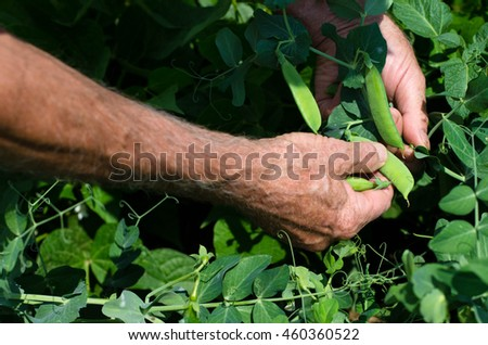 Organic produce of food. Man picking mature husks of peas from his own garden.