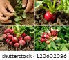 organic radish growing - stock photo
