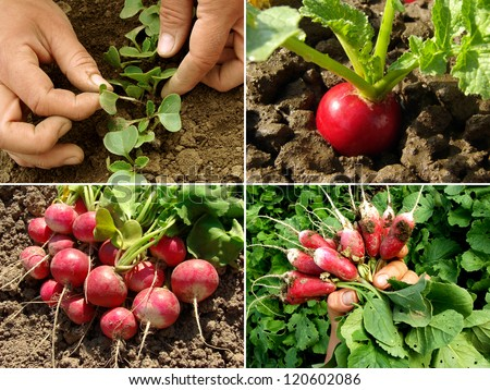 organic radish growing - stock photo