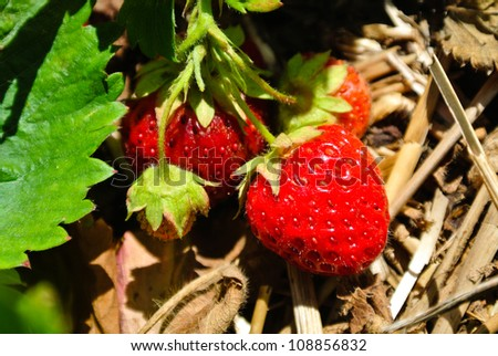 organic red strawberry in the field