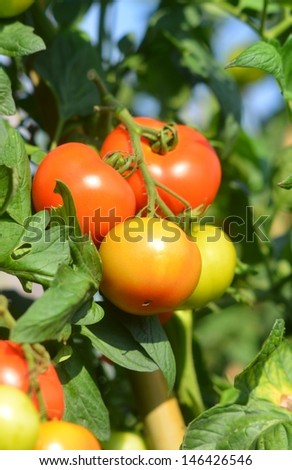 Organic red tomatoes in farmland. Agriculture image.