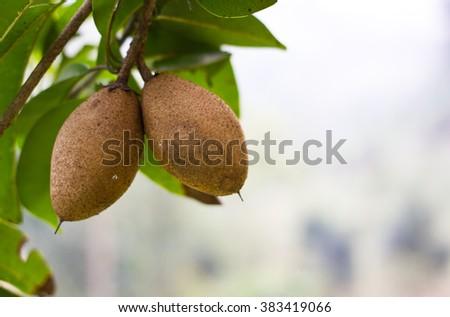 organic sapodilla - stock photo