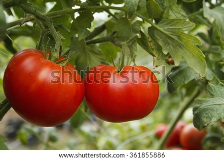 organic tomato plant and fruit on a natural background - stock photo
