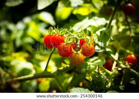 Organic tomatoes branch in organic garden - stock photo