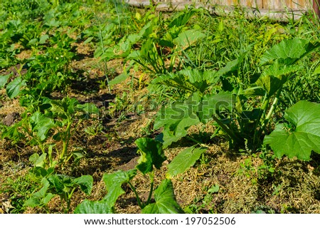 Organic vegetable garden pumpkin - stock photo