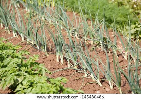 Organic vegetables growing in garden - stock photo