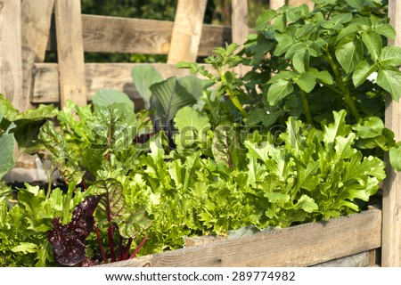 Organic vegetables in a pallet garden including red and green lettuce, red cabbage, Swiss chard, and potatoes - stock photo
