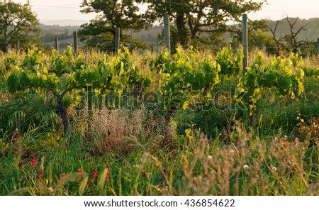 Organic vineyard in Tuscany, Italy, biodiversity promoted - stock photo