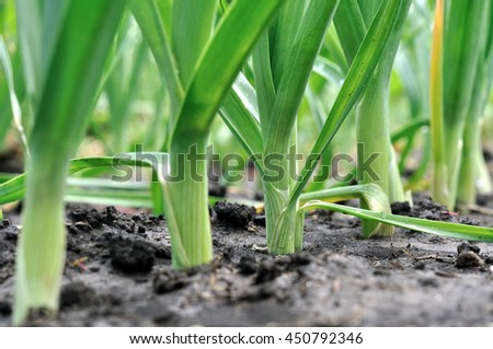 organically cultivated leek plantation in the vegetable garden  - stock photo