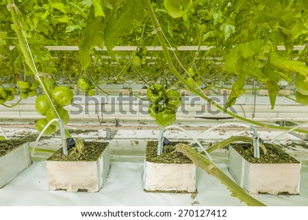 organically-grown tomatoes