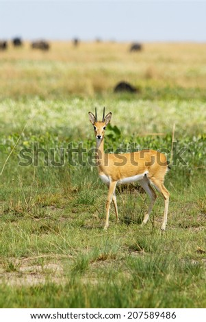 Oribi on the Liuwa Plains, Zambia, Africa - stock photo
