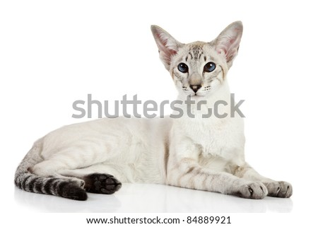 Oriental blue-point cat lying on white background - stock photo