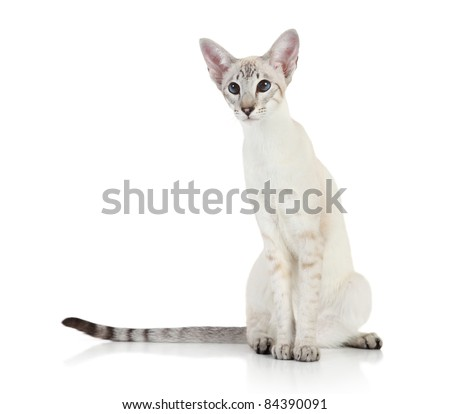 Oriental Blue-point siamese cat on white background - stock photo
