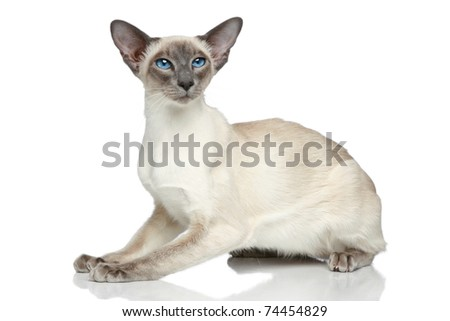 Oriental Blue-point siamese cat sitting on a white background - stock photo