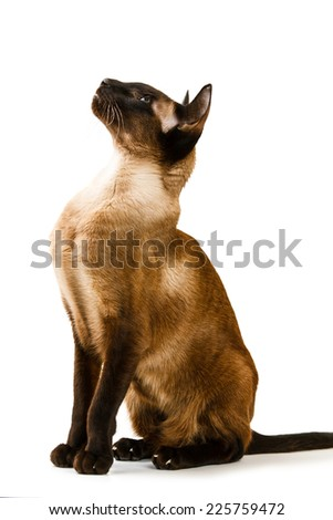 Oriental brown cat on a white background  - stock photo