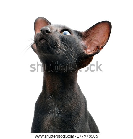 Oriental cat close-up portrait - stock photo