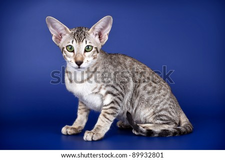 Oriental cat on blue background - stock photo