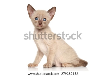 Oriental kitten sits in front of white background