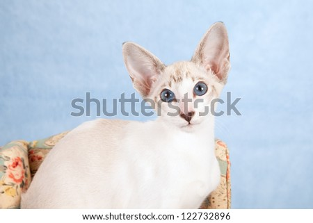 Oriental kitten sitting on floral chair on blue faux fur background - stock photo