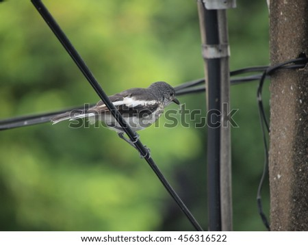 oriental magpie robin bird perched on electric wire - stock photo