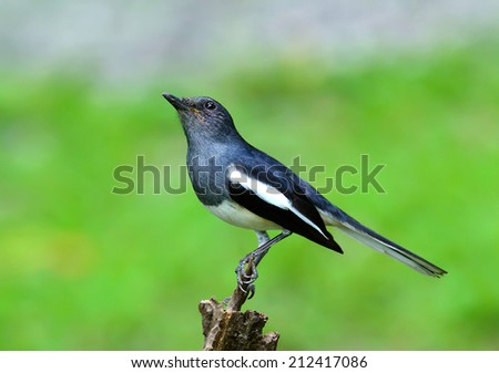 Oriental Magpie-Robin, Magpie Robin (Copsychus saularis) on a branch - stock photo