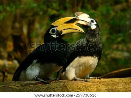 Oriental pied hornbills - stock photo