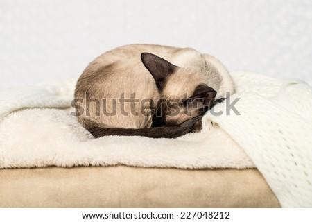 Oriental seal-point sleeping siamese cat  - stock photo