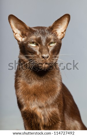 Oriental shorthair cat. Dark brown. Siamese breed. Studio shot isolated on grey background. - stock photo