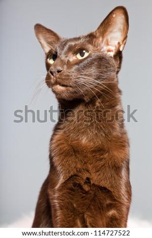 Oriental shorthair cat. Dark brown. Siamese breed. Studio shot isolated on grey background. - stock photo