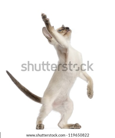 Oriental Shorthair kitten, 9 weeks old, standing on hind legs and reaching against white background - stock photo