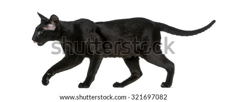 Oriental Shorthair (8 months old) walking in front of a white background - stock photo