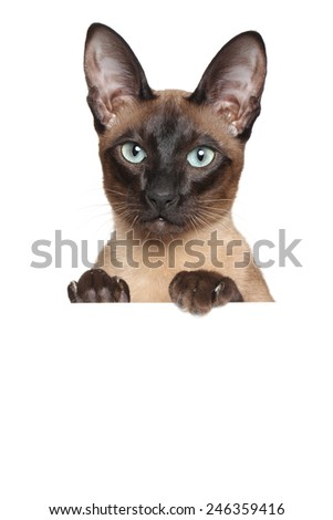 Oriental Siamese cat above banner isolated on white background - stock photo