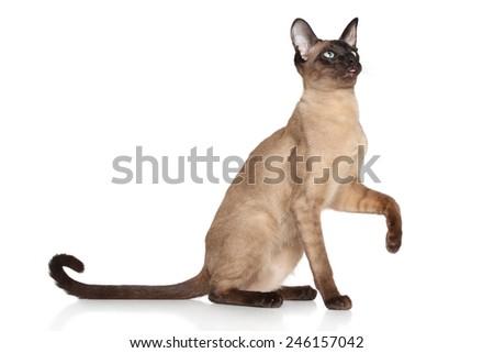 Oriental Siamese cat sits on white background - stock photo