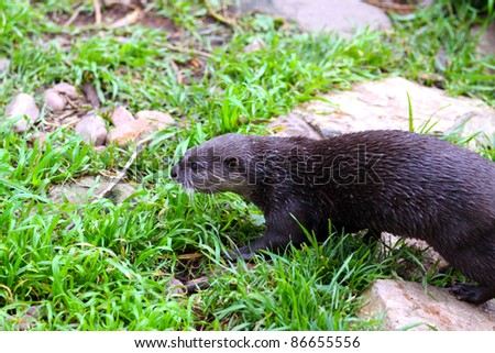 Oriental Small-Clawed Otter - Aonyx cinerea - moving through grass
