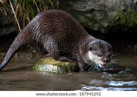 Oriental Small Clawed Otter perched on a stone in a stream/Otter/Oriental Small Clawed Otter