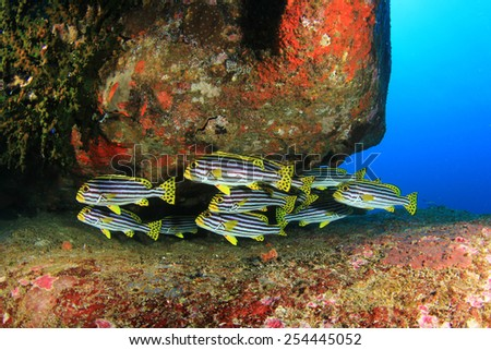 Oriental Sweetlips fish - stock photo