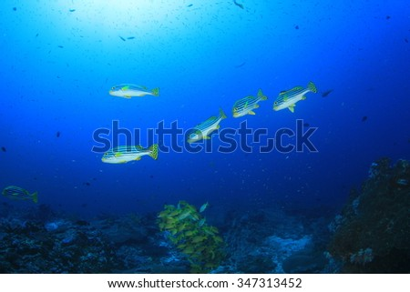 Oriental Sweetlips fish school coral reef underwater