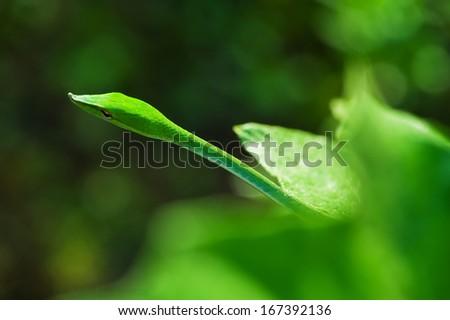 Oriental whipsnake  - stock photo